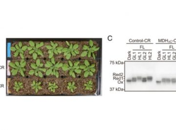 【論文】Redox regulation of NADP-malate dehydrogenase is vital for land plants under fluctuating light environment